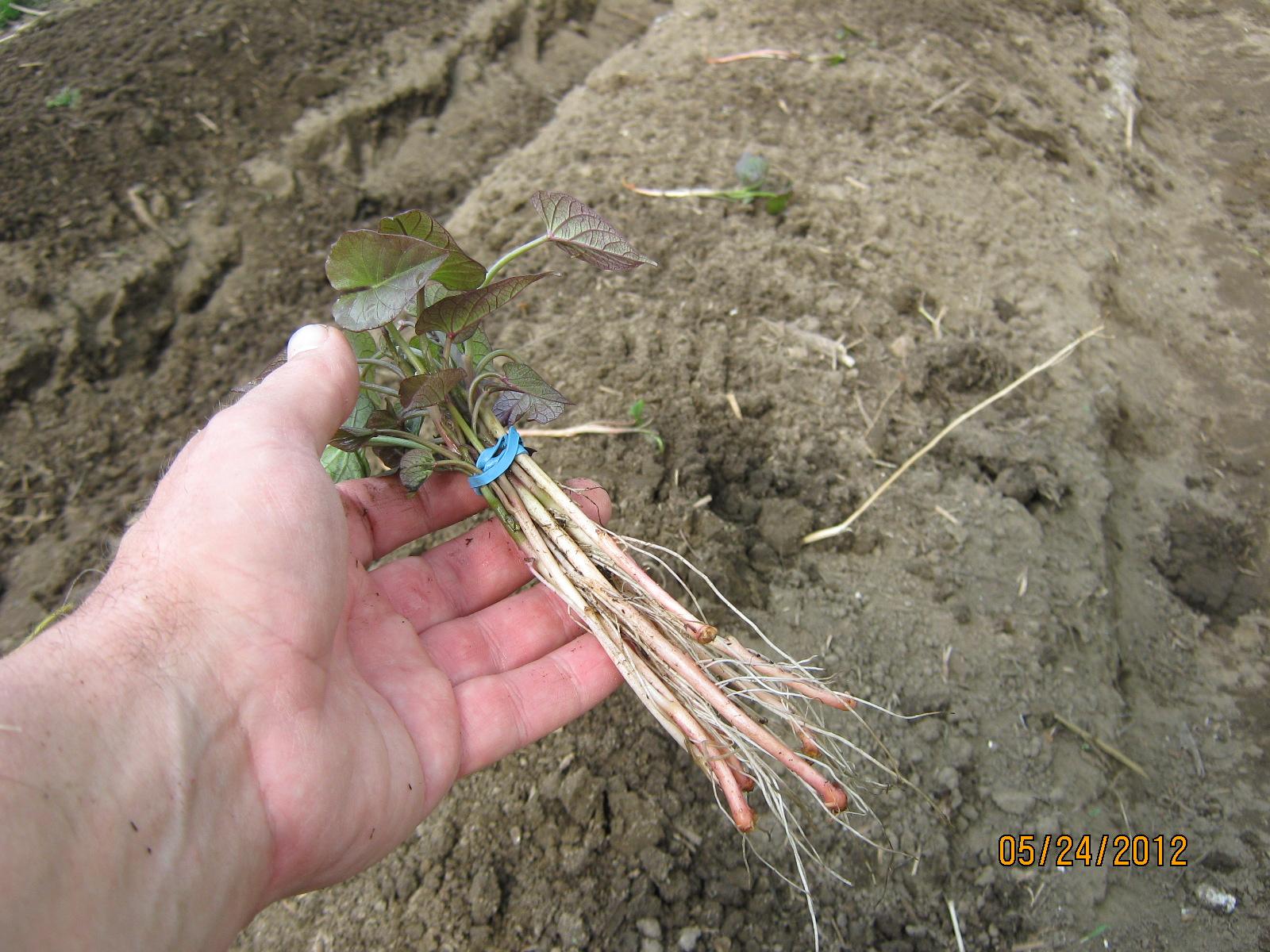 lovely planting sweet potato slips Part - 13: lovely planting sweet potato slips great ideas