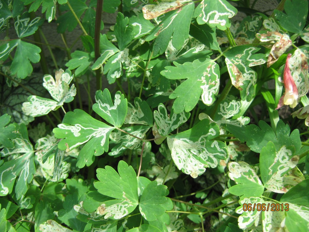 The tunnels made by the Columbine leaf miner are very east to spot.