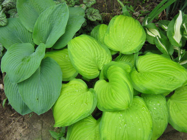 Hostas are grown for their interesting leaves. The flowers are usually incidental and not showy.