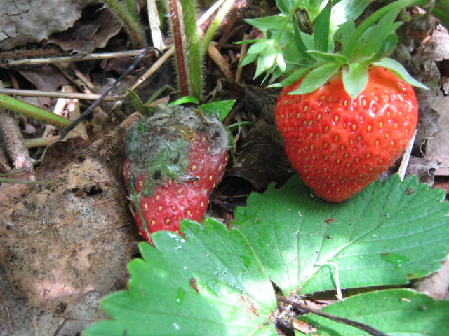 A healthy strawberry will easily become infected with gray mold when touching an infected berry.