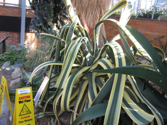 It is very rare for an agave to have variegated leaves. It was probably why the plant was originally collected