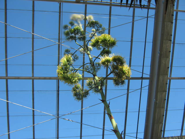 The agave has produced at tall flower stalk