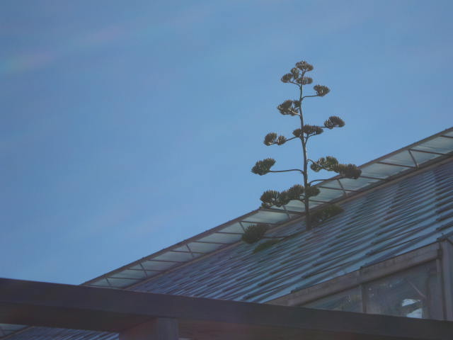 The agave flower stalk has grown through the roof.