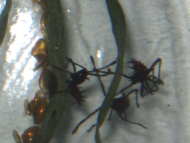 This is the nymph stage in the lifecycle of a stick bug.