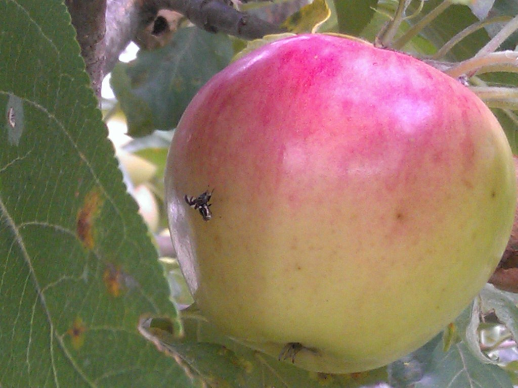 Apple maggot flies have a distinct pattern on their wings. You may not recognize it as a fly at first glance.