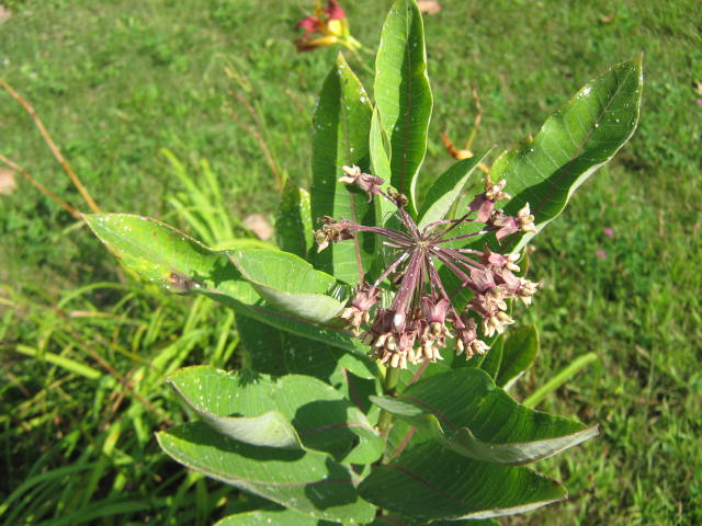 The other milkweed is just finishing blooming. It also has a different looking growth habit.