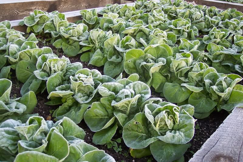 Light frosts enhance lettuce flavor. Be aware that wintry temperatures will eventually kill them.