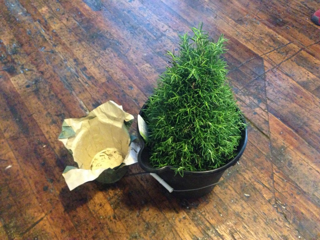 A bucket is a good way to make sure your rosemary gets adequate water.