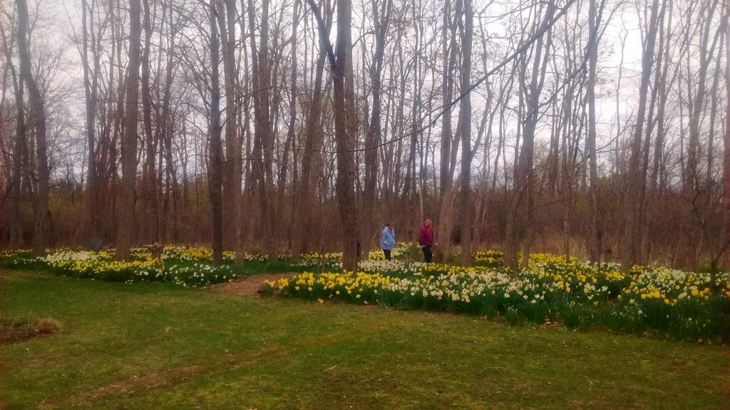 Daffodils thrive in the rich woodland soil.