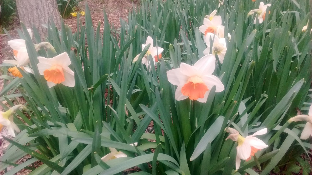 Beginning gardeners should note that daffodils are planted in the fall.