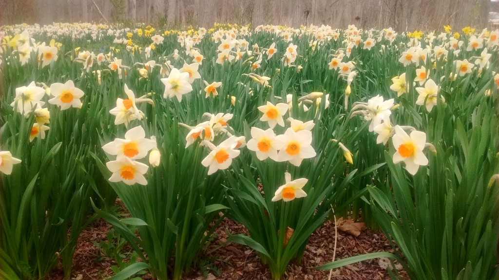 A few daffodils in the yard are nice, but a large plantinng like this makes a bold statement.
