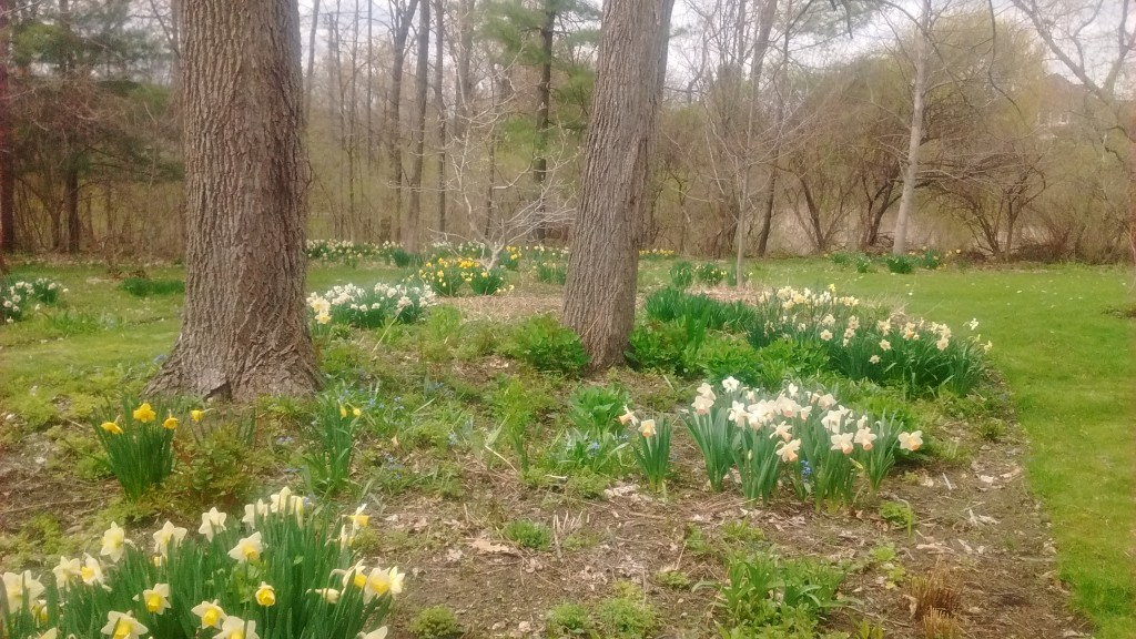 Daffodils grow well around black walnut trees.