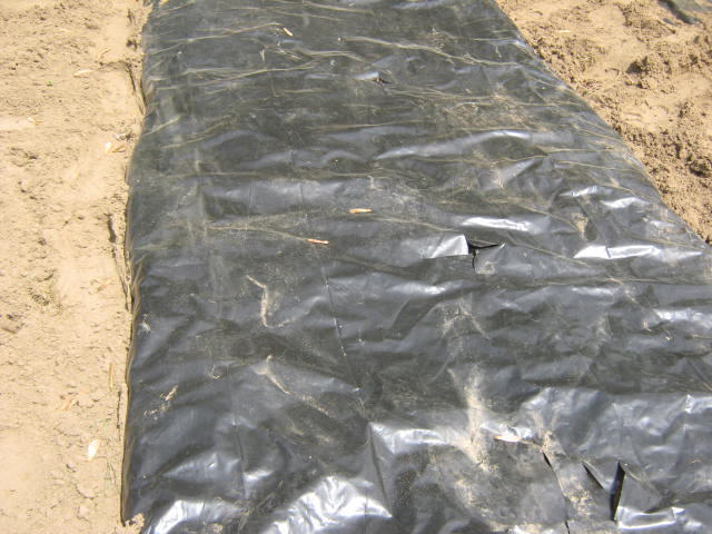 With some care, you can re-use plastic mulch another year.
