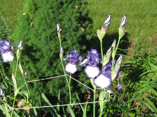 Sometimes high winds and heavy rain will knock over iris stalks. Tying them to stakes will help them stay upright.