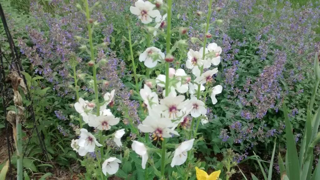 Moth mullein in bloom.