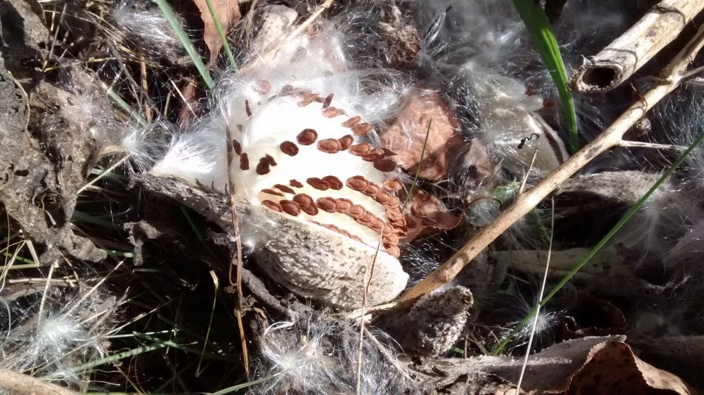 Inside a milkweed pod, the seeds grow in rows.