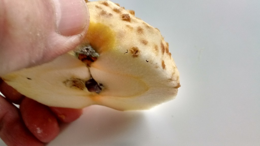 The corky spots develop just under the skin of the apple.
