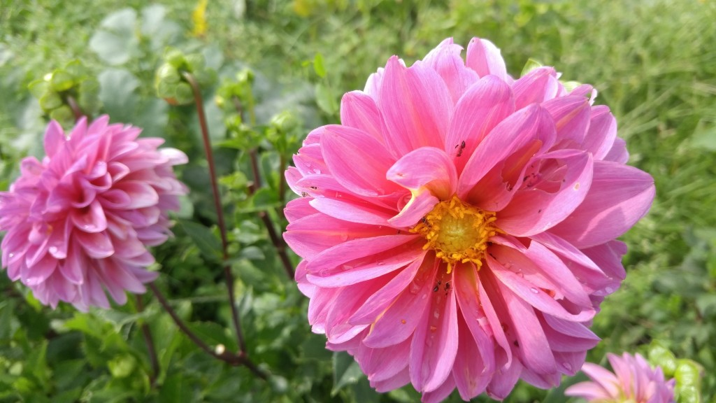 You would still have to control all of the other weeds that would come up in your temporary dahlia area.