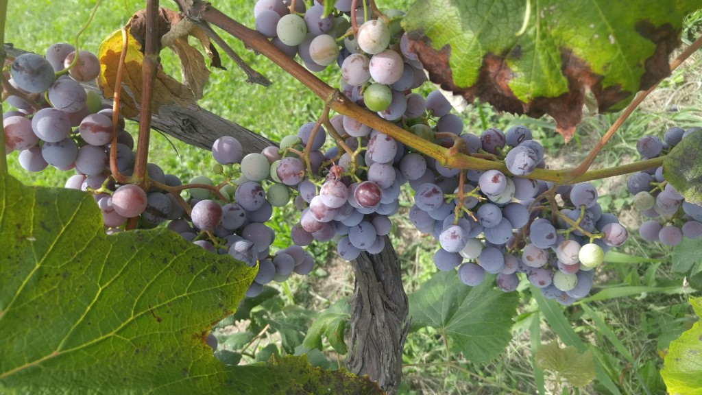 Our main grape crop i