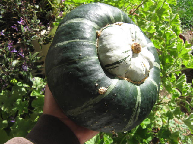 We grew a lot of food from just a few buttercup squash seeds.