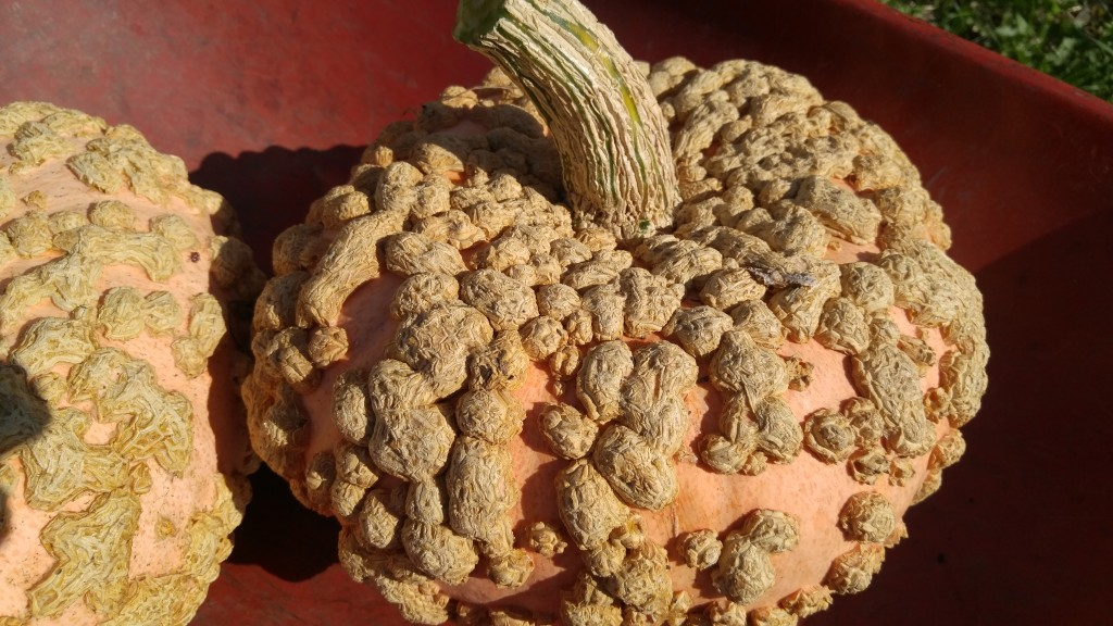 My Gladeux d'Eysine pumpkins are about 14 inches across. They feel quite dense for their size.