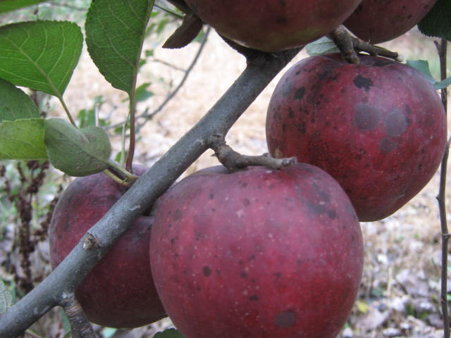Minor surface discoloration was tghe only problem we had with our apples this year.