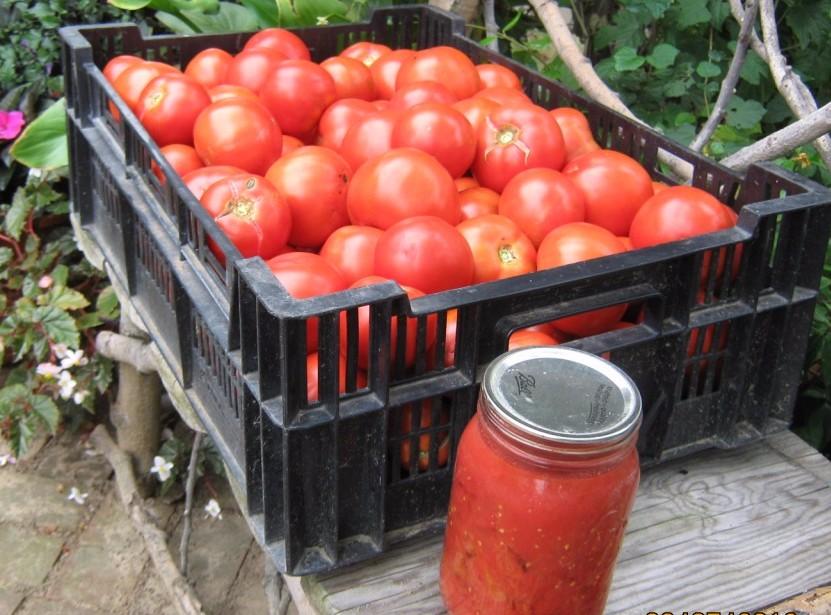 Modern varieties of tomatoes generally have higher yields than heirloom types.