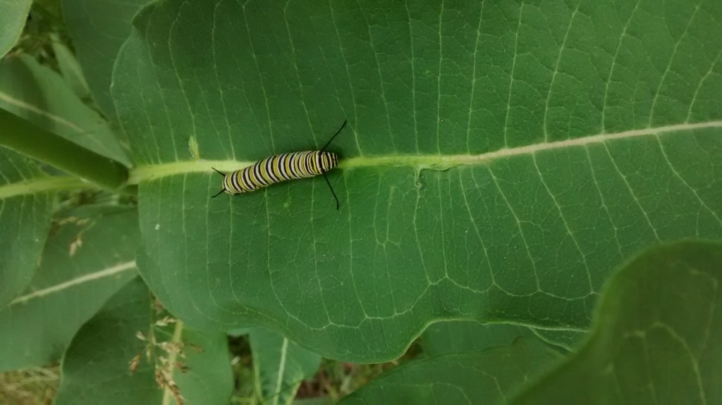 It didn't take long for this caterpillar to disappear into a chrysalis.