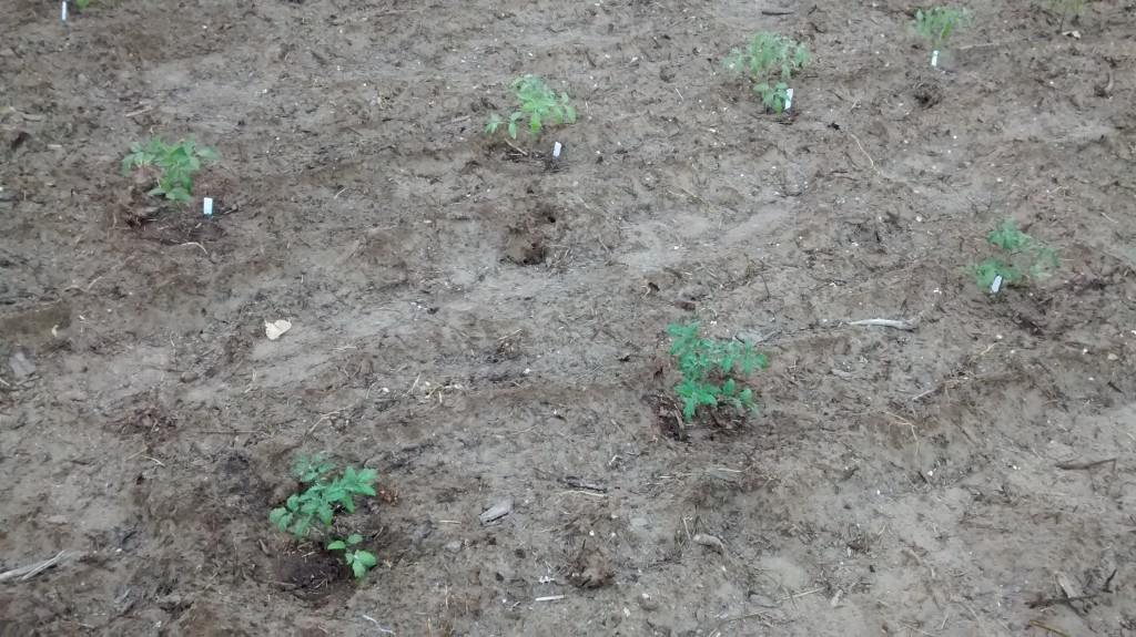 These tomato plants look like they are far apart but eventually they will together.