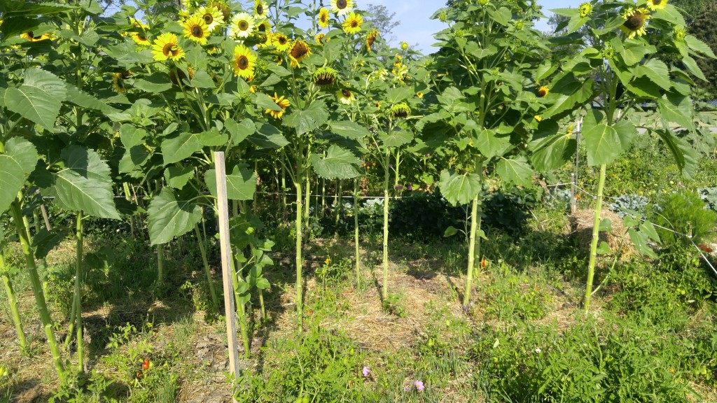 These tomatoes are struggling to grow near sunflowers.