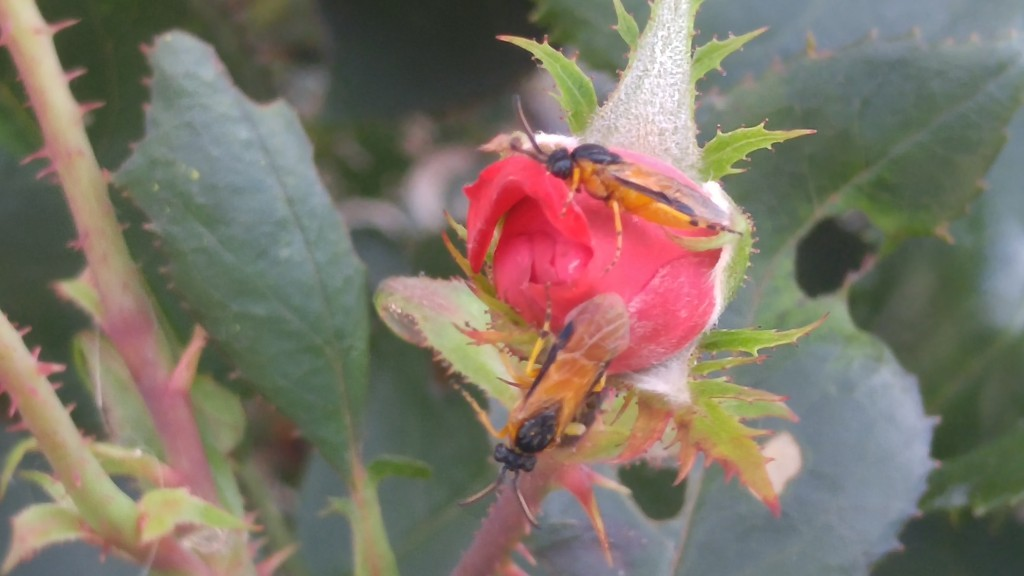 The adult sawflies do not chew on buds.