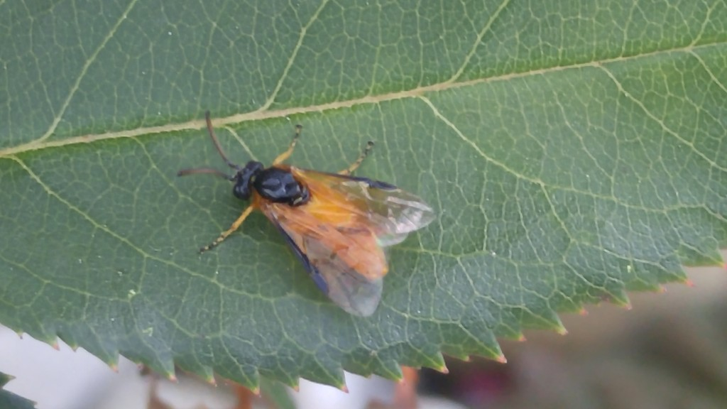 Closeup of adult sawfly.