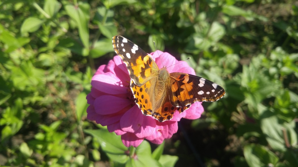 Although not as big as monarchs, painted ladies are one of our larger butterflies.