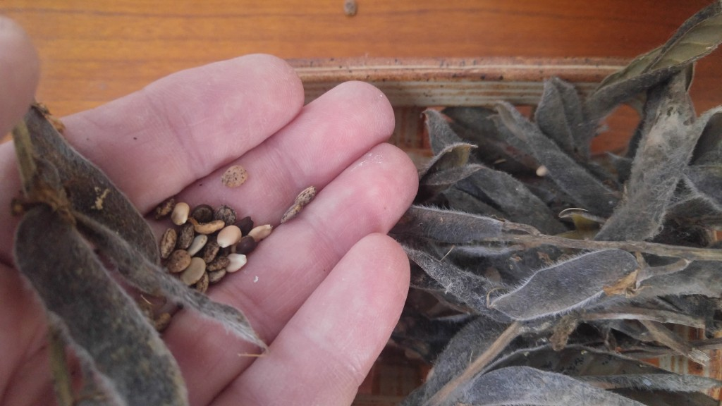 Here's a few lupine seeds that I found scattered around the house.
