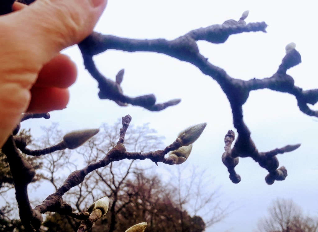 Magnolia buds may not blossom but will swell and provide you with some spring  color.