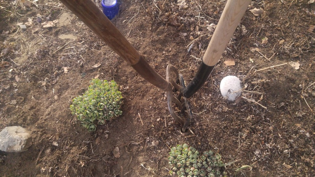 Two garden forks placed back to back can be used to wedge apart stubborn roots.