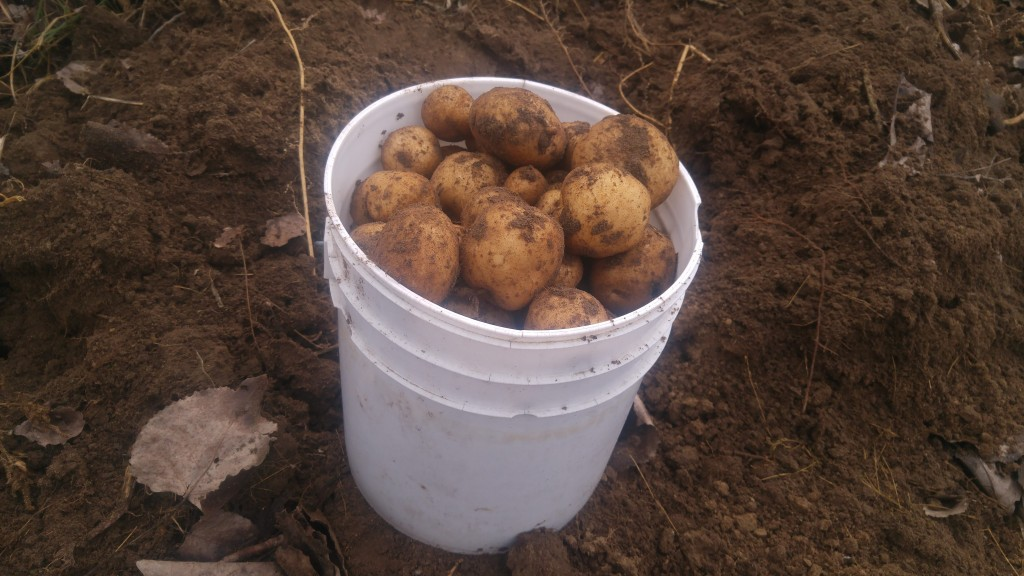 My first bucket of potatoes from this patch.