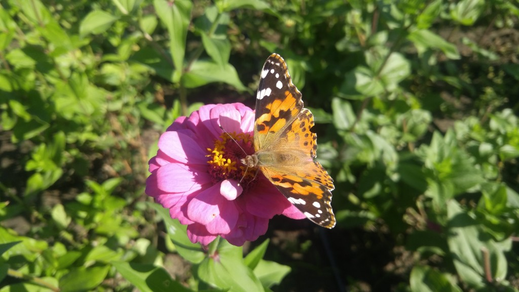 Zinnias flowers are attractive to butterflies, plus they  keep blooming the entire growing season.