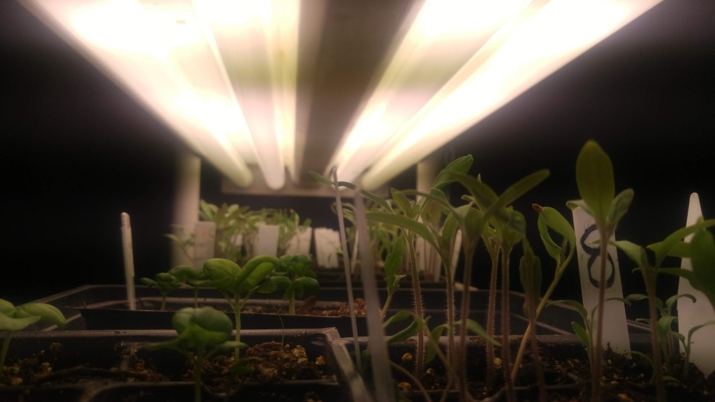 I keep my light bulbs no further than 4 or 5 inches from the seedlings. The gray on the bulbs in this photo is just a glitch from the camera.