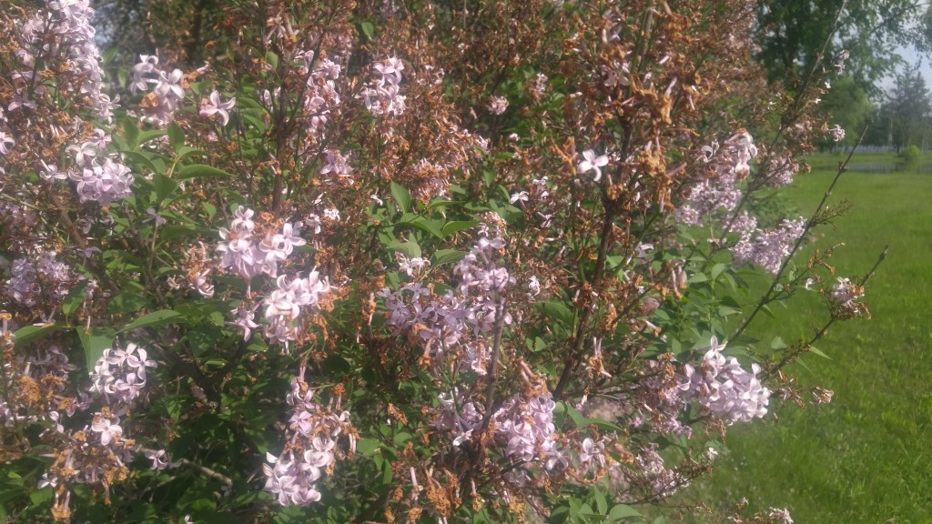 The ideal time to dead head lilacs is right after blossoming.