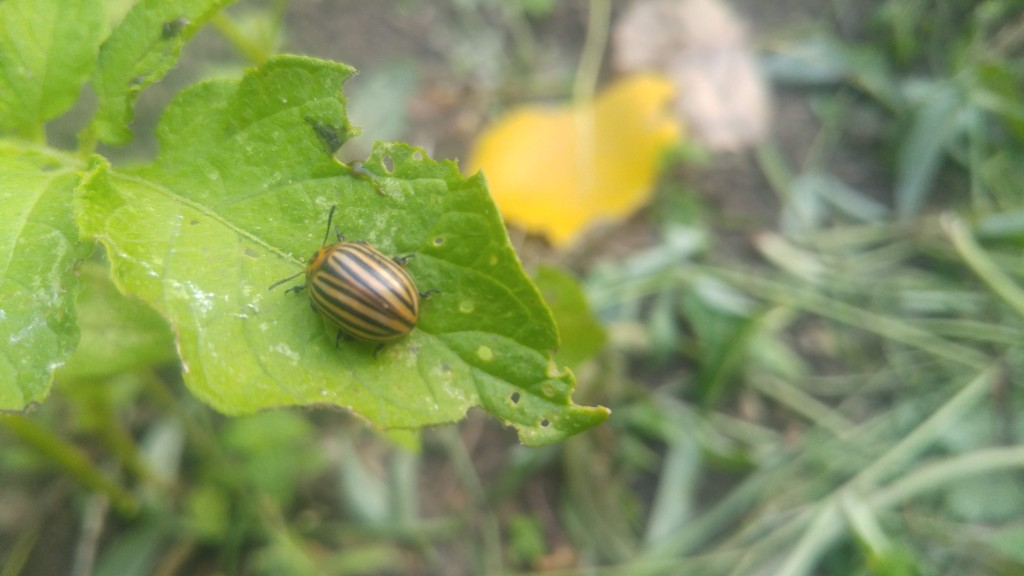 An adult Colorado potato beetle, easily identified by its stripes