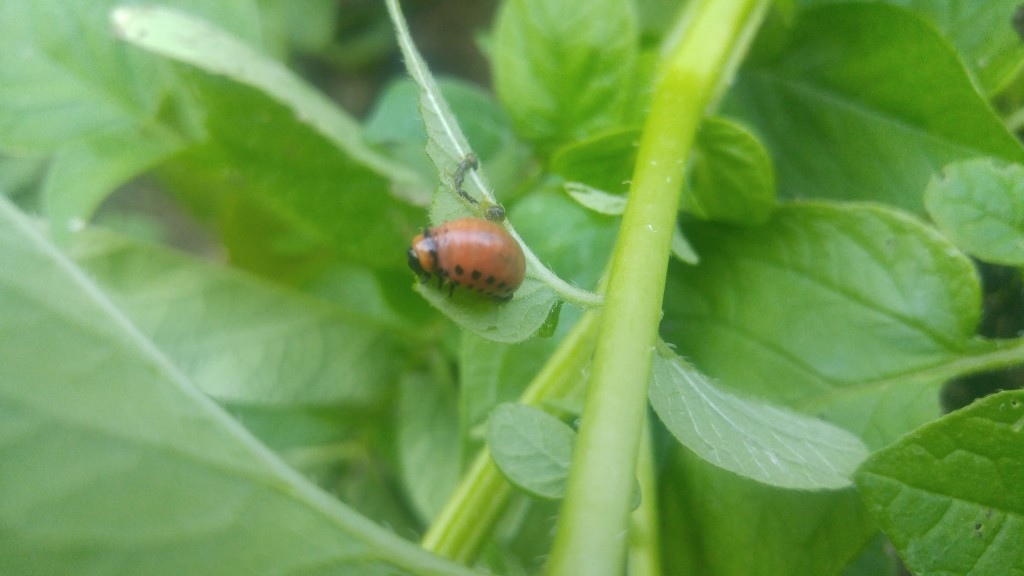 Colorado potato beetle larva. Both larvae and adults can be controlled by knocking them off the plant into a pail of soapy water.