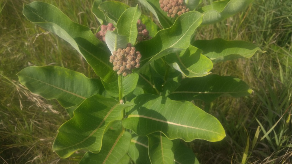 There are several species of milkweed. This is purple milkweed.