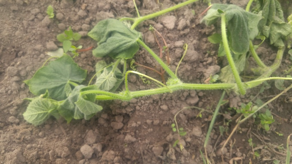 Symptom of bacterial wilt on cucumbers.