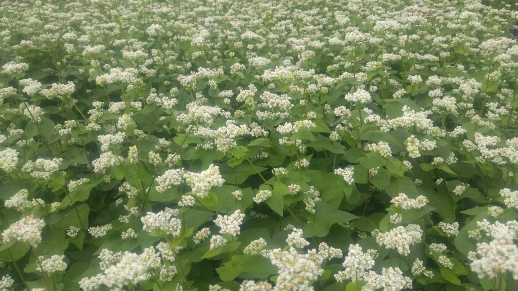 Buckwheat produces nectar only in the morning, you won't see bees in your buckwheat during the afternoon.