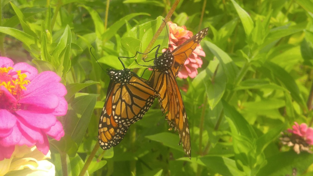 Pair of monarch butterflies mating in mid-September