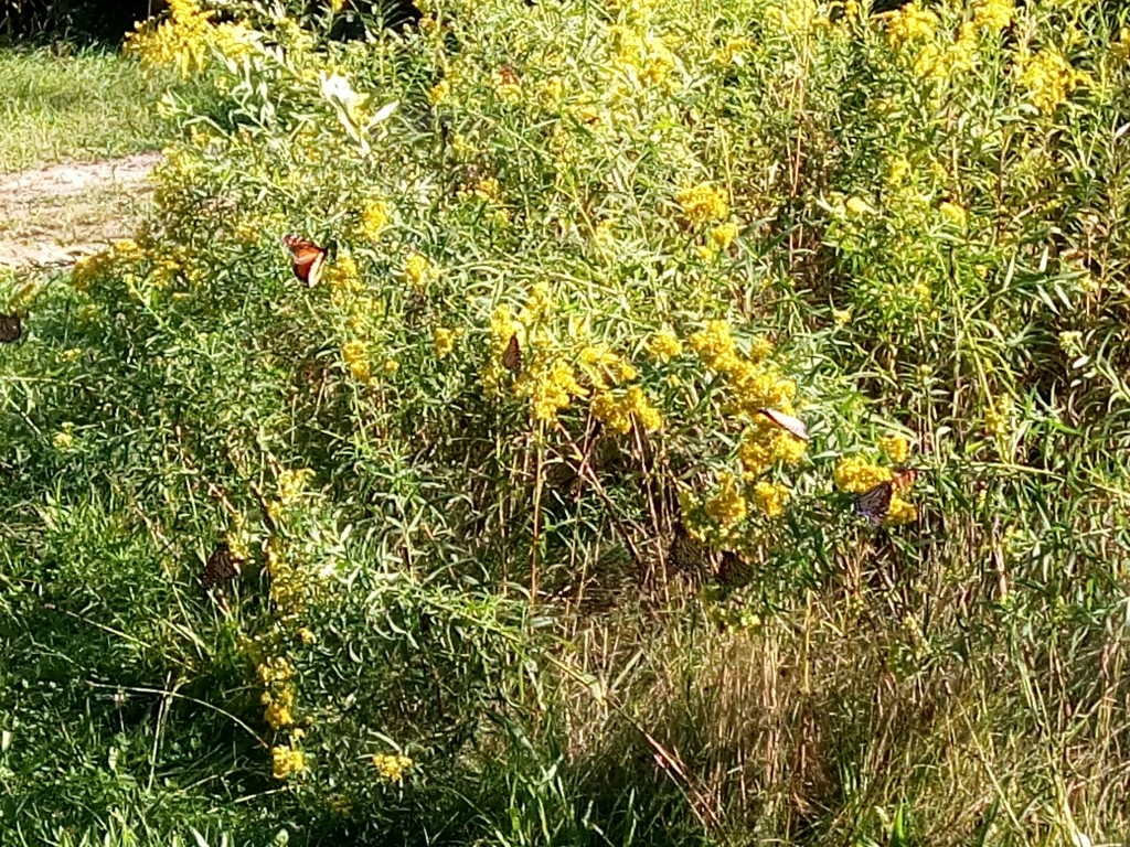 Look closely, how many monarch butterflies can you see?