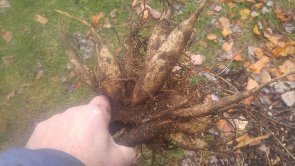 Dahlia tuber clump after digging.