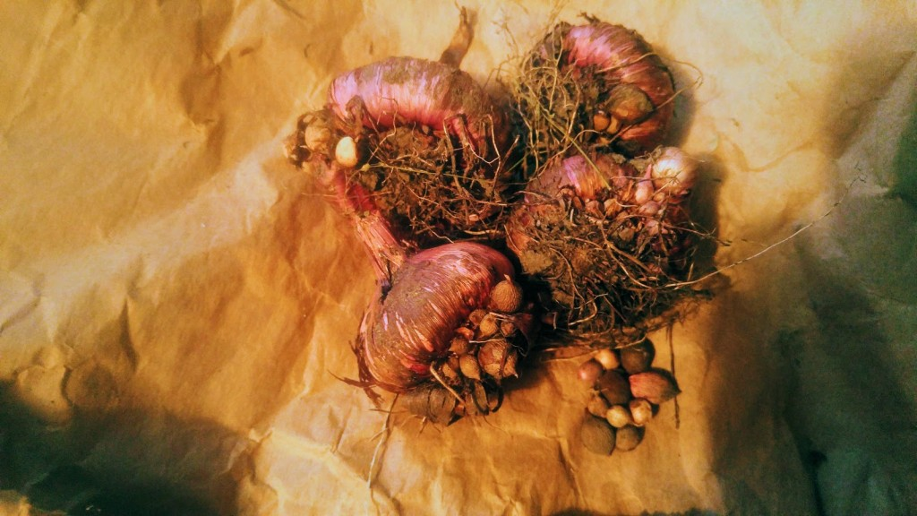 Here are a few corms after drying and before cleaning. They were dug around the first of November. The dark-colored area is the old corm which, along with soil, will be removed and discarded before storage. The cormels are picked off and kept a paper bag until spring.